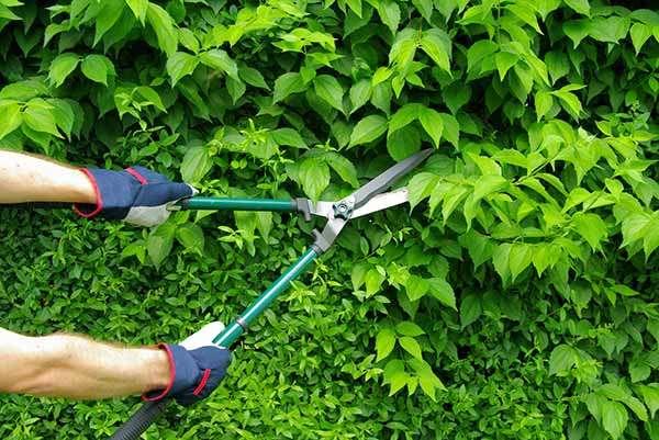 hedge trimming service kent